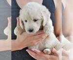 Puppy 7 English Cream Golden Retriever-Poodle (Miniature) Mix