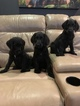 Labradoodle Puppy For Sale in NEW MADRID, MO, USA