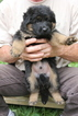 German Shepherd Dog Puppy For Sale in GATES MILLS, OH