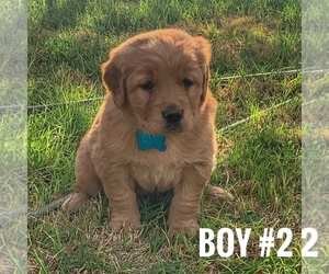 Golden Retriever Puppy for Sale in ANDREWS, Texas USA