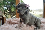 Cane Corso Puppy For Sale in HONEY BROOK, PA, USA