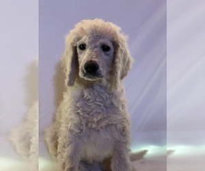 Poodle (Standard) Puppy for Sale in WHEELING, West Virginia USA