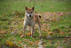 Shiba Inu Puppy For Sale in FREDERICKSBURG, OH, USA