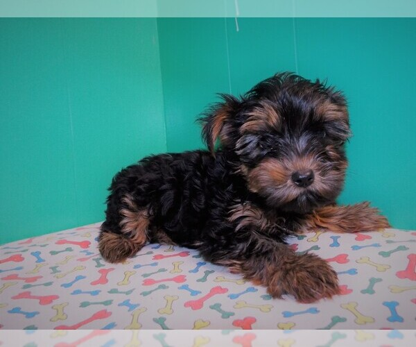 Medium Photo #4 Yorkshire Terrier Puppy For Sale in PATERSON, NJ, USA
