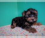 Small Photo #4 Yorkshire Terrier Puppy For Sale in PATERSON, NJ, USA
