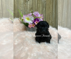 Poodle (Toy) Puppy for Sale in MYRTLE, Missouri USA