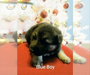 German Shepherd Dog Puppy for sale in COLUMBUS, OH, USA