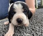 Puppy 1 Coonhound