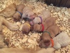 Beautiful Farm raised Golden Retriever puppies