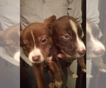 Small Photo #1 Alaskan Husky-American Pit Bull Terrier Mix Puppy For Sale in BIRMINGHAM, AL, USA
