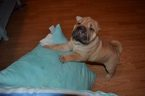 Chinese Shar-Pei Puppy For Sale in PALM COAST, FL, USA