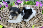 Small #1 Biewer Terrier