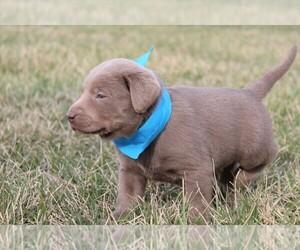 Labrador Retriever Puppy for sale in MARSHFIELD, MO, USA