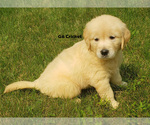 Small #4 Golden Retriever