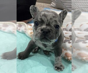 French Bulldog Puppy for Sale in KANSAS CITY, Missouri USA
