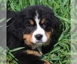 AKC Bernese Mountain Dog