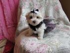 Maltese Puppy For Sale in HERMITAGE, TN