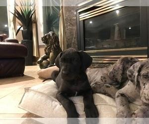 Great Dane Puppy for Sale in YAKIMA, Washington USA
