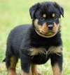 Rottweiler Puppy For Sale in PROSPERITY, SC