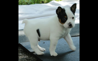 Rat Terrier Puppy For Sale in FAIRPORT, NY, USA