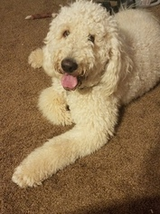 Father of the Goldendoodle puppies born on 03/03/2019