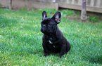 French Bulldog Puppy For Sale in RIVERBANK, CA, USA