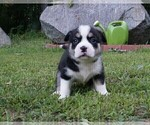 Puppy 2 American Bully-Unknown Mix