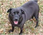 Small #259 Labrador Retriever