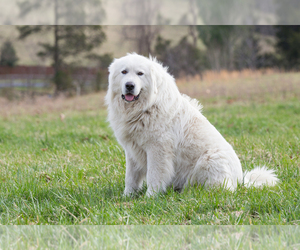 Father of the Great Pyrenees puppies born on 02/07/2019
