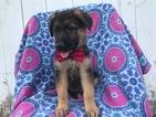 German Shepherd Dog Puppy For Sale in PEACH BOTTOM, PA,