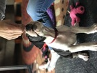 Great Dane Puppy For Sale in PITTSTON, PA
