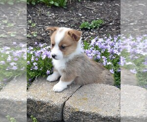 Pembroke Welsh Corgi Puppy for sale in MILLERSBURG, OH, USA