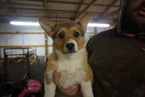 Pembroke Welsh Corgi Puppy For Sale in LINCOLN, AR, USA