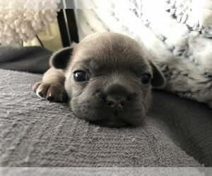 French Bulldog Puppy for sale in HAMILTON, MI, USA
