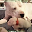Small Photo #38 Dogo Argentino Puppy For Sale in PINEVILLE, MO, USA