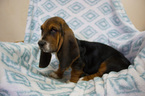 Basset Hound Puppy For Sale in PETERSBURG, IN, USA