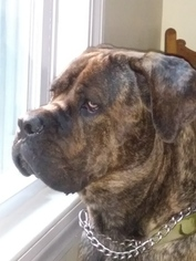 Cane Corso Dog For Adoption in SMITHFIELD, RI, USA