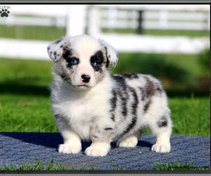 Pembroke Welsh Corgi Puppy for Sale in HONEY BROOK, Pennsylvania USA