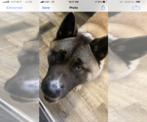 Akita Puppy for sale in SPENCERVILLE, IN, USA