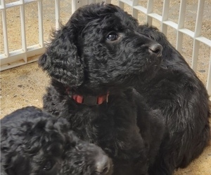 Goldendoodle Puppy for sale in COLUMBUS, GA, USA