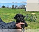 Puppy 6 Pug-A-Poo