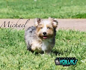 Yorkshire Terrier Puppy For Sale in ROANOKE, TX
