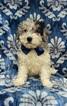 F1b Mini Sheepadoodle Puppy