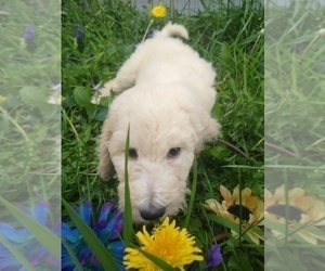 Poodle (Standard) Puppy for sale in NEW LONDON, IA, USA
