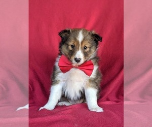 Shetland Sheepdog Puppy for sale in OXFORD, PA, USA