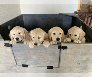 Golden Retriever Puppy for sale in RENO, NV, USA