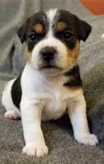 Jack Russell Terrier Puppy For Sale in WYOMING, MN, USA