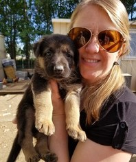 German Shepherd Dog Dog For Adoption in MOSES LAKE, WA, USA