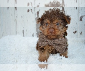 Australian Yorkshire Terrier Puppy for sale in HONEY BROOK, PA, USA