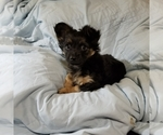 Small #1 Chorkie-Yorkshire Terrier Mix